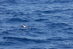 Masked booby hunting for a flying fish Stock Photos