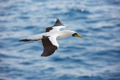 Masked booby passing by royalty free stock images