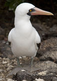 Masked Booby Sitting on Rock Stock Image