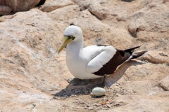 Masked Booby sitting on rock Royalty Free Stock Images