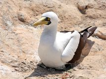 Masked Booby sitting on rock Stock Images