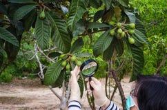 Masked botanist looking at loquat tree Stock Photo