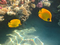 Masked Butterfly Fish Royalty Free Stock Photo