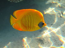 Masked Butterfly fish Royalty Free Stock Images