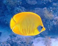 Masked butterfly fish. In the Red Sea Stock Photography