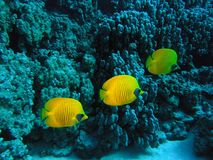 Masked butterfly Fish Stock Photos