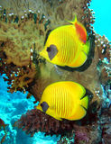 Masked Butterfly Fish Royalty Free Stock Photography