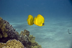 Masked Butterfly Fish (Chaetodon semilarvatus). Taken in Middle Garden Royalty Free Stock Photography