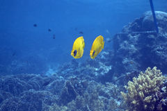 Masked Butterfly Fish (Chaetodon semilarvatus) Royalty Free Stock Photo