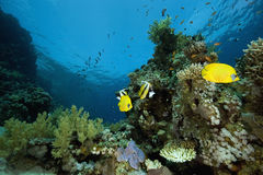 Masked Butterfly Fish (Chaetodon semilarvatus) Stock Image