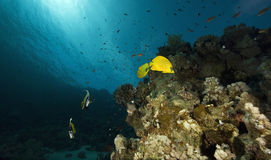 Masked Butterfly Fish (Chaetodon semilarvatus) Stock Photo