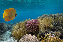 Masked Butterfly Fish and coral reef Stock Photography