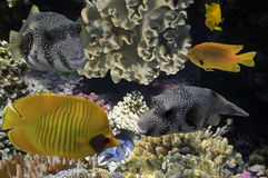 Masked Butterfly Fish and coral reef. Red Sea, Egypt Royalty Free Stock Images