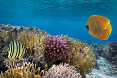 Masked Butterfly Fish and coral reef. Red Sea, Egypt Royalty Free Stock Photography
