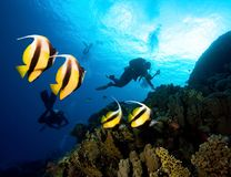 Masked Butterfly Fish and divers. royalty free stock photography