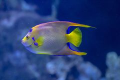 Masked butterfly fish royalty free stock image