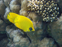 Masked Butterfly Fish always in pair Royalty Free Stock Images