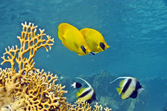 Masked Butterfly Fish and Red sea bannerfishes. Masked Butterfly Fish (Chaetodon semilarvatus) and Red sea bannerfishes (heniochus intermedius) couple taken in Stock Images