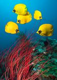 Masked Butterfly Fish. Underwater image of coral reef and School of Masked Butterfly Fish royalty free stock image