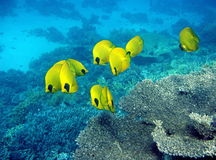Masked butterfly fishes. At coral reef in Red Sea Royalty Free Stock Image