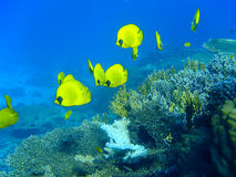 Masked butterfly fishes. At the coral reef royalty free stock image
