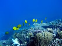 Masked butterfly fishes. At the coral reef stock images