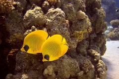 Masked butterfly fishs Stock Photo