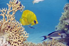 Masked butterflyfish Stock Images