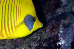 Masked butterflyfish Royalty Free Stock Image