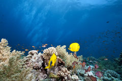 Masked butterflyfish Royalty Free Stock Images