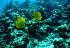 Masked butterflyfish Royalty Free Stock Photos