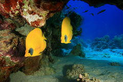 Masked Butterflyfish Stock Image