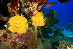 Masked Butterflyfish Royalty Free Stock Photography