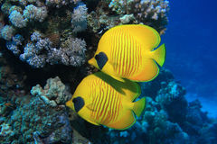 Masked butterflyfish Stock Photos