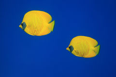 Masked butterflyfish Royalty Free Stock Photo