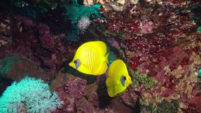 Masked butterflyfish Chaetodon semilarvatus, fish slowly swims over a coral reef stock video