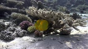 Masked butterflyfish Chaetodon semilarvatus under the coral in Red sea. Egypt stock video footage