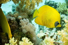Masked butterflyfish duo (chaetodon semilarvatus). Taken in Na'ama Bay Royalty Free Stock Images