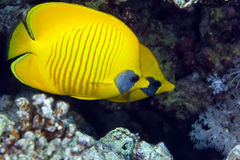 Masked butterflyfish in the Red Sea. Stock Photo