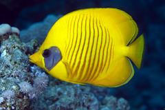 Masked butterflyfish in the Red Sea. Stock Photography