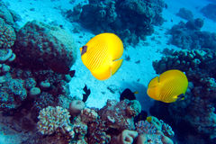 Masked butterflyfish in red sea, Chaetodon semilar Stock Photo
