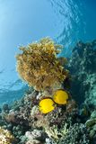 Masked butterflyfish on a tropical coral reef. Royalty Free Stock Photography