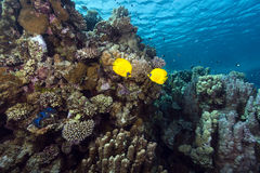 Masked butterflyfish and tropical reef in the Red Sea. Stock Image