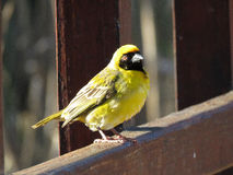 Masked Cape Weaver. After a day of building nests Stock Photos