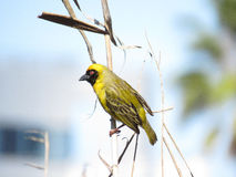 Masked Cape Weaver. I'm looking out for a new nest site but I have to keep an eye on the competition too Stock Images