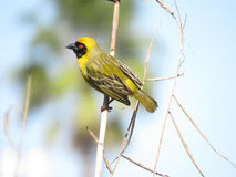 Masked Cape Weaver. I'm looking out for a new nest site but I have to keep an eye on the competition too Stock Image