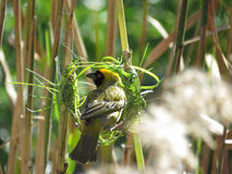 Masked Cape Weaver. Nest building is such a intricate job that it needs all my focus because the ladies will be inspecting before they consider my proposal Stock Photography