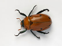 Masked Chafer Beetle. The Masked Chafer Beetle, is also known as Cyclocephala borealis, c. lurida, or c. pasadenae and is approx. 1-1 1/4 inch in length. The Royalty Free Stock Photography