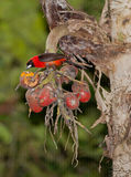 Masked Crimson Tanager Stock Photos