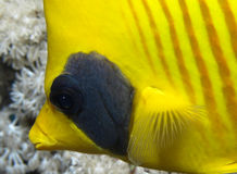 Masked fish Stock Photos